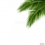 leaves of coconut tree isolated on white background 64238