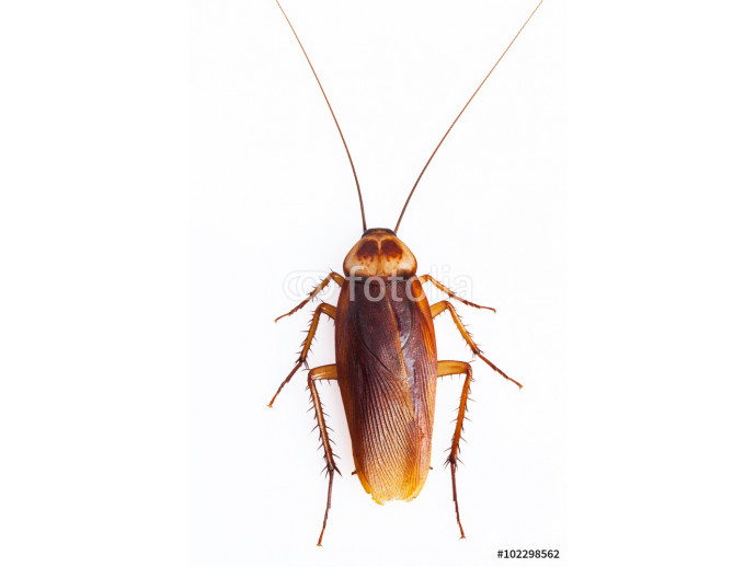 Dead cockroach on white background 64238