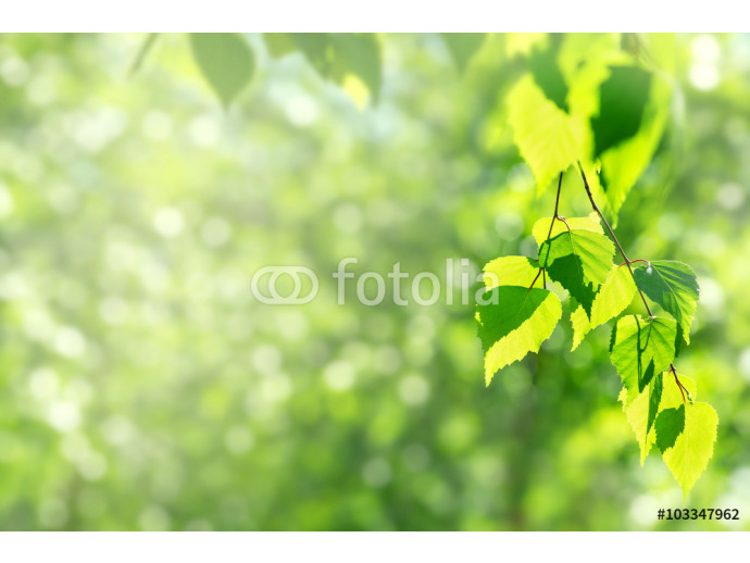 Photo wallpaper Spring background with birch branches in the sun 64238
