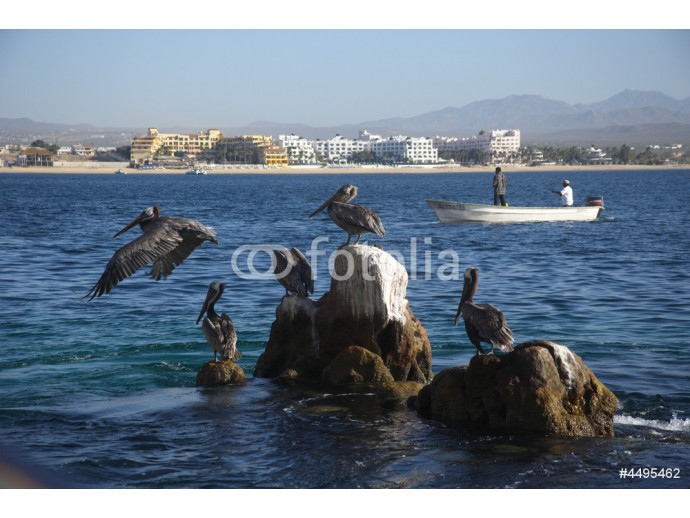 pelicans at Cabo San Lucas in Baja California Sur in Mexico 64238