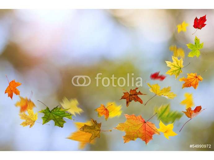Maple colored autumn falling leaves, on natural background. 64238