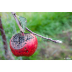 cracked Apple with disease 64238