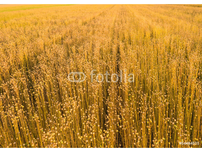 Fotomural decorativo Flax plants in early morning sunlight 64238