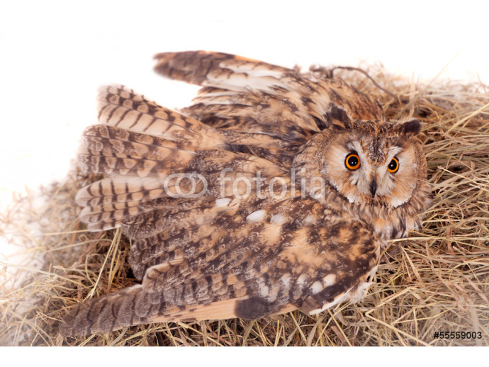 Long-eared Owl nesting isolated on the white background 64238