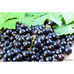 black currant and green leaves 64238