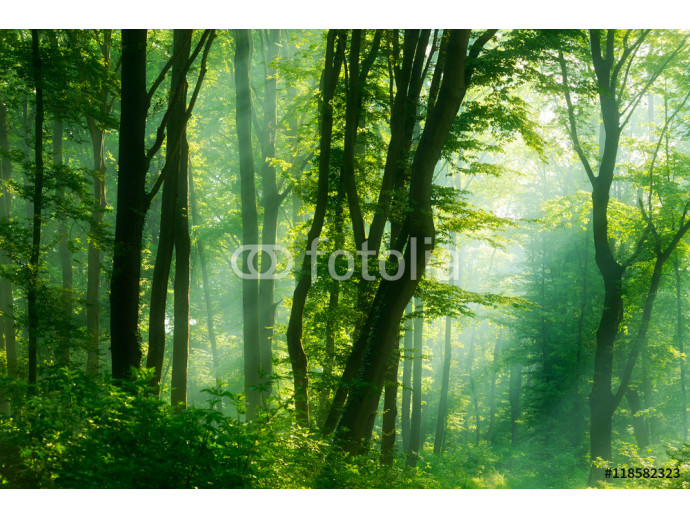 Green Forest of Deciduous Trees Illuminated by Sunbeams through Fog 64238