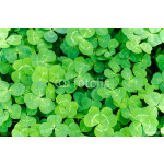 Carpet of green three-leaf clover cover a meadow 64238