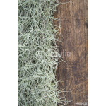 Spanish Moss(Tillansia usenoides L.) on the wooden background. 64238