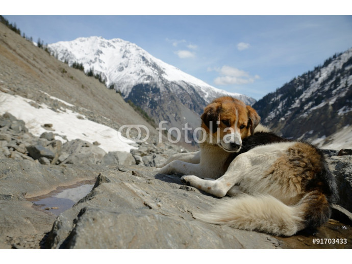 Dog on rocky outcrop overlooking the scenic valley at Svaneti, Gruzia. 64238