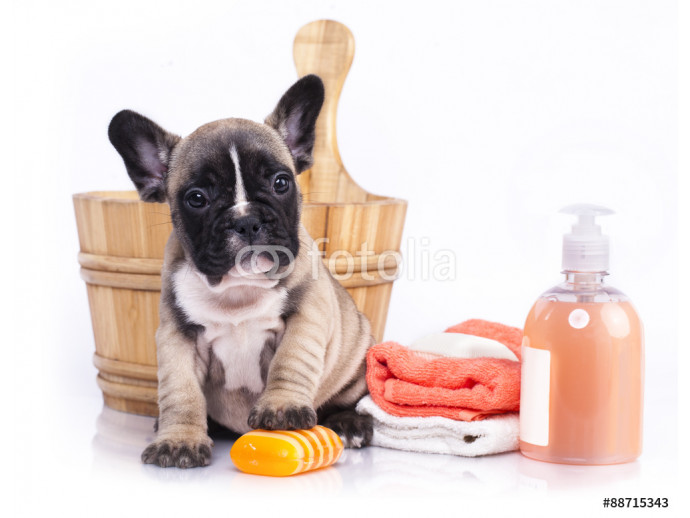 puppy bath time - French  bulldog puppy in wooden wash basin with soap suds 64238