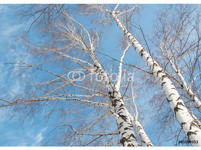 birch trees against the sky 64238