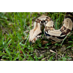 Close up of Columbia boa constrictor. 64238