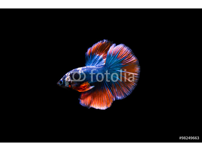 halfmoon fighting fish 64238