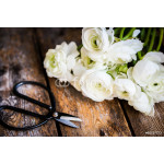 White ranunculus and vintage scissors on rustic wooden backgroun 64238