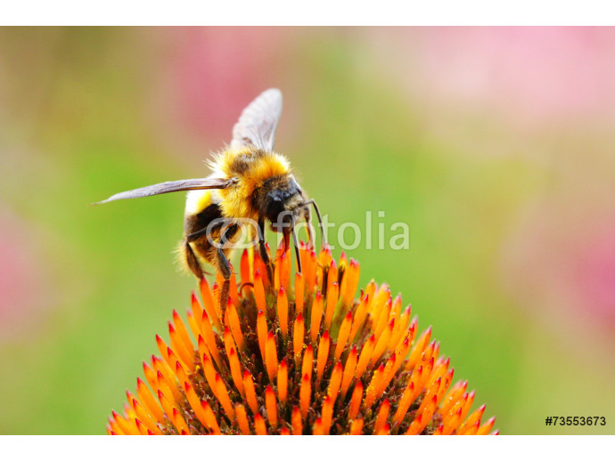 Fototapeta A bee and flower 64238