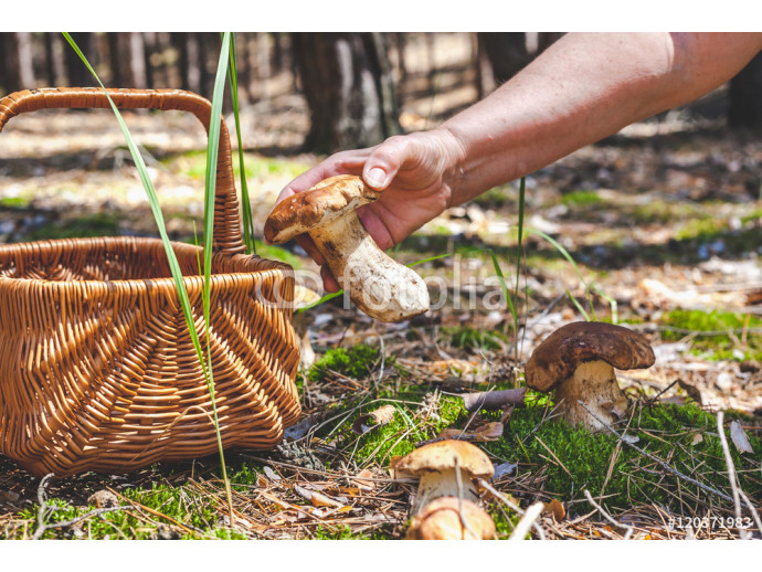 Fototapeta Female hand holding big boletus in forest clearings 64238