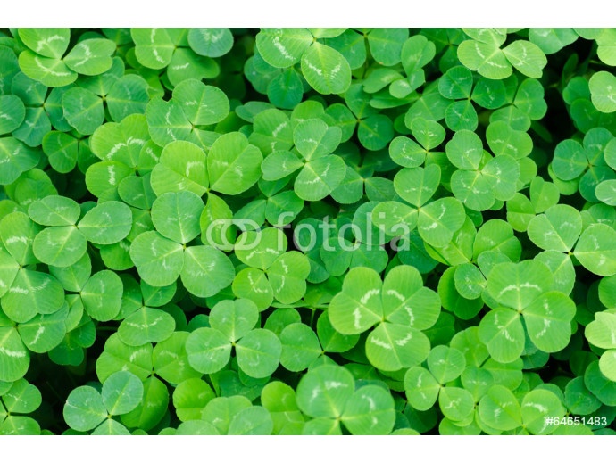 Fotomural decorativo Carpet of green three-leaf clover cover a meadow 64238