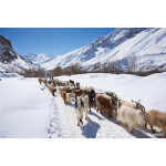 Flock of goat and sheep in Spiti valley, India 64238
