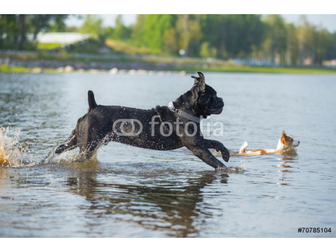 Cane Corso dog in nature 64238