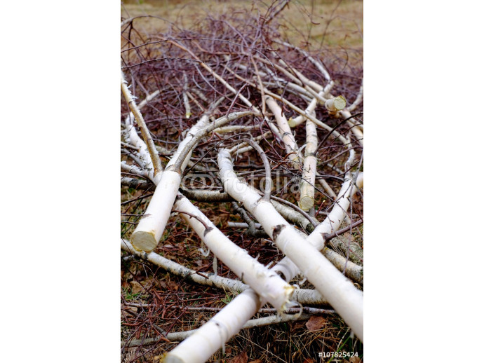 Photo wallpaper Felled birch branches 64238