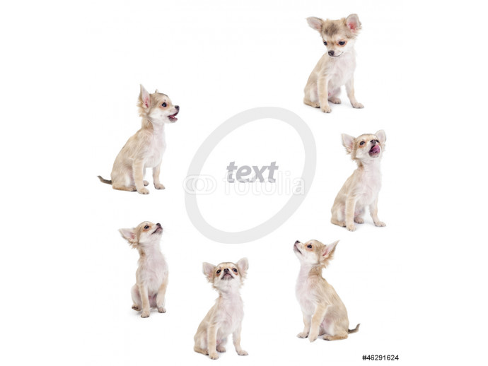 cute chihuahua puppies looking at center of picture isolated 64238