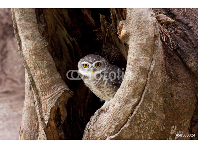 Spotted Owlet (Athene brama), standing on a branch 64238