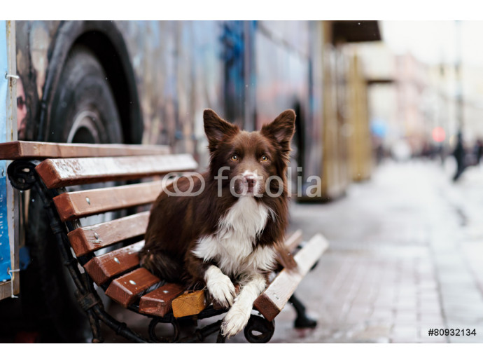 Border Collie dog perform tricks in the center of Moscow 64238