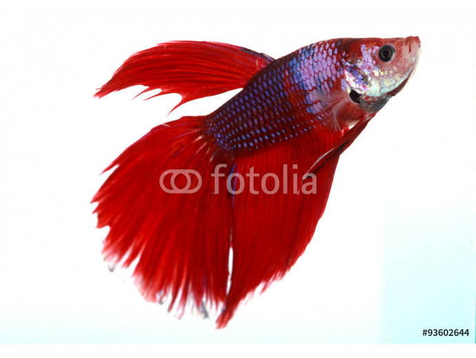 Colorful of  Betta Fish closeup on white background. 64238