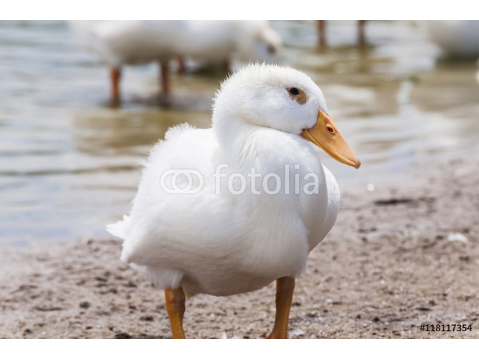 Real white duck in a farm with pond 64238