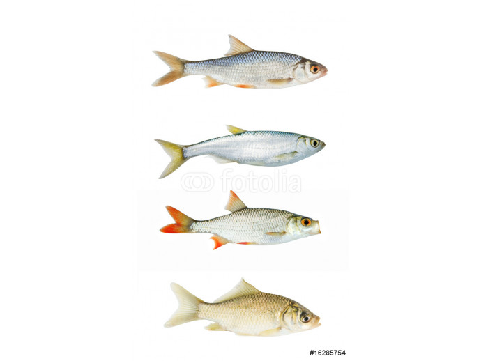 Fresh river fish collection isolated on white 64238