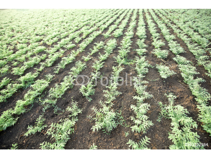 Chickpea crop field 64238