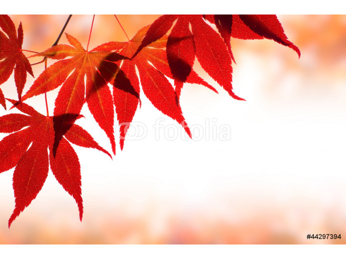 Beautiful red maple border over white with space for text 64238