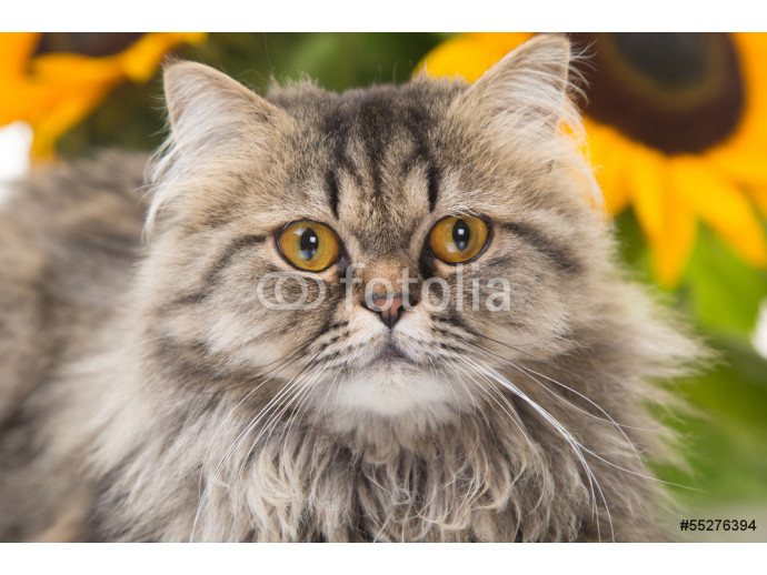 Persian cat lying with sunflowers 64238