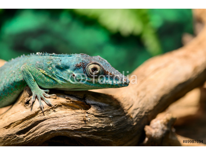 Close-up view of a Green Anole lizard (Anolis baracoae) on the t 64238