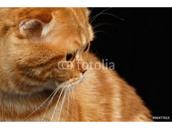 Vliestapete Closeup Ginger Scottish Fold Cat Looking back isolated on Black 64238