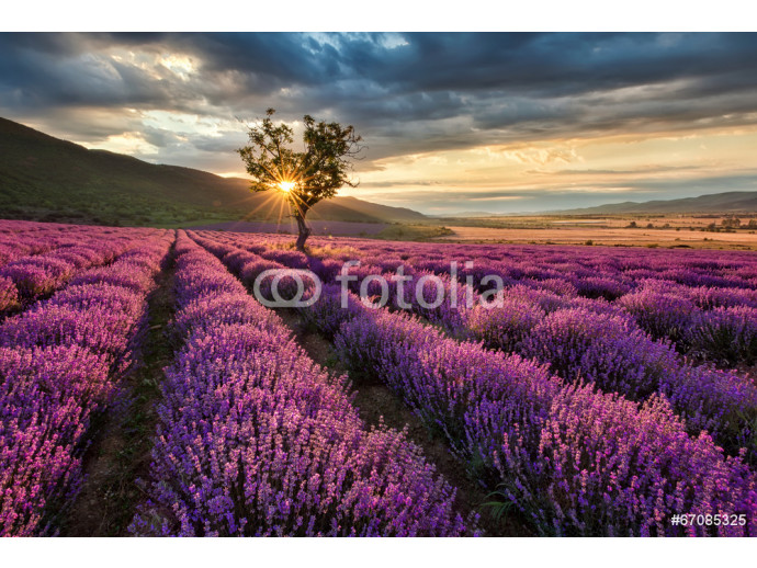 Stunning landscape with lavender field at sunrise 64238