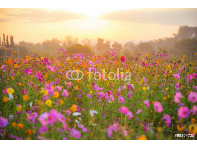 cosmos flower field in the morning at singpark in chiangrai, Tha 64238