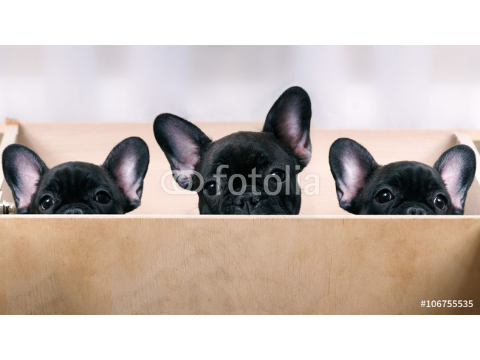 Three puppies look out from the enclosure. French Bulldog Puppies. Black, brindle color. Elite, pedigree dogs. Big ears 64238