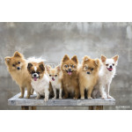 selective focus on small body brown chihuahua dog and his family 64238