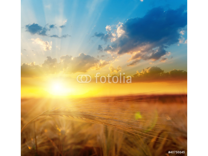 golden sunset over field with barley 64238