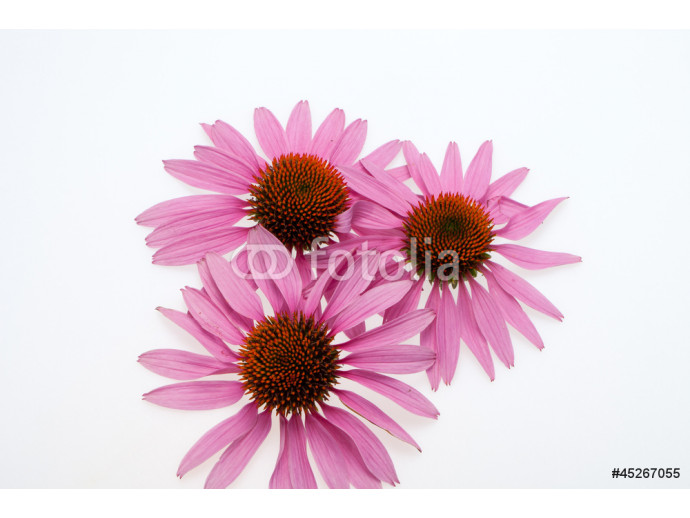 Pink coneflower head, isolated on white background 64238