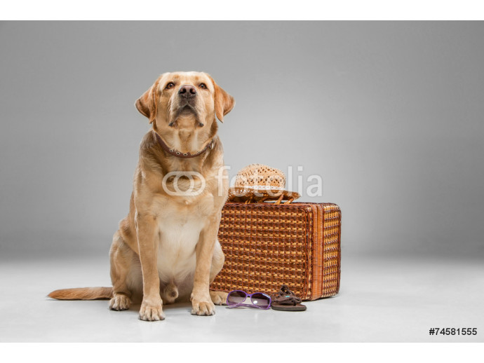 Beautiful labrador with the suitcase 64238