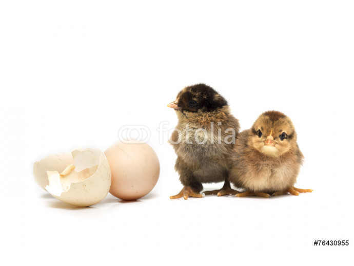 Colored chickens and egg. Photo. 64238