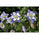 field with Rocky Mountain blue columbine flowers 64238