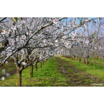 Rows of blooming almond trees in an orchard 64238