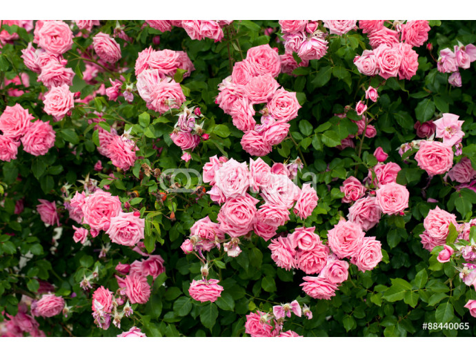 Pink roses 64238