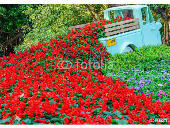 Beautiful red salvia flowers blooming on the car in the garden 64238