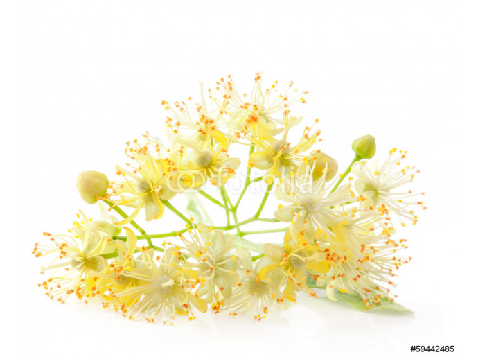 Linden flowers isolated on white background 64238