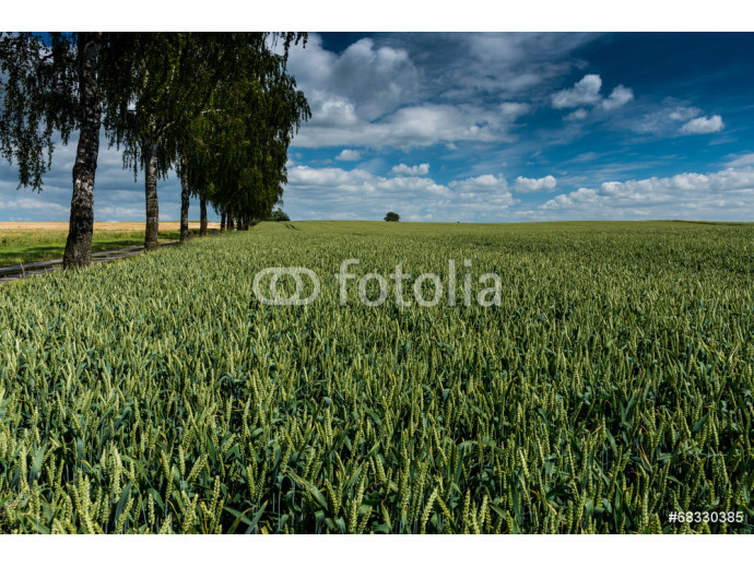 Typical cornfield on Island Poel, Baltic Sea, Mecklenburg-Wester 64238
