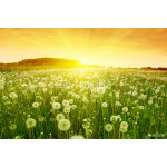 Dandelions in meadow during sunset. 64238
